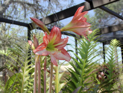 striped amaryllis