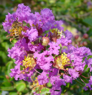 purple crape myrtle